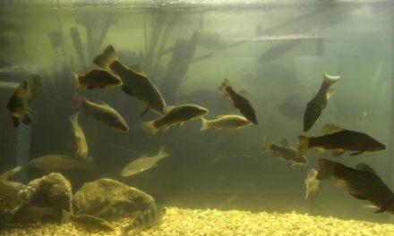Výstava ryb ve Slavonicích