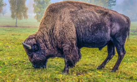 Bizoní farma Veclov